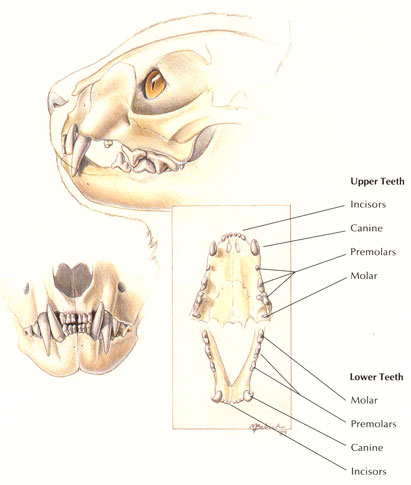 normal-feline-dentition
